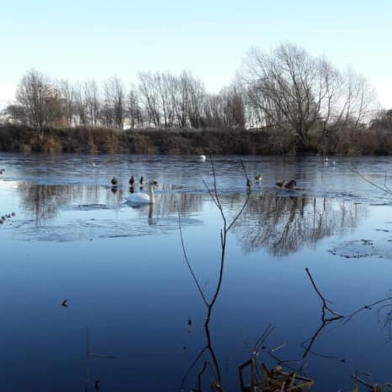 An Icy River Tees With Our Resident Swans