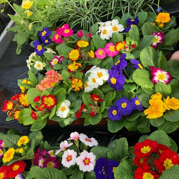 Pick And Mix Primulas