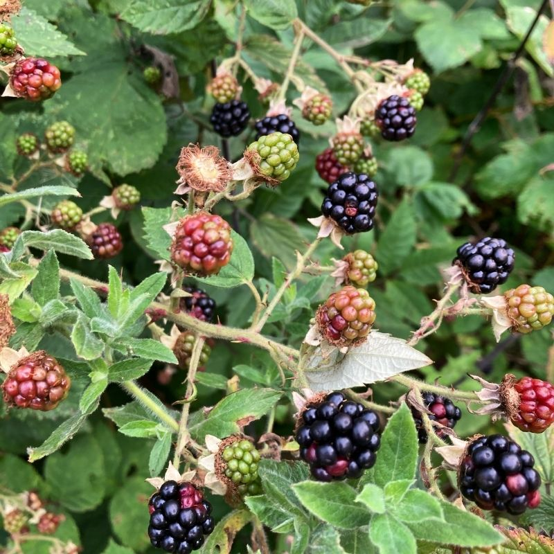Blackberries Ripening At Preston Park