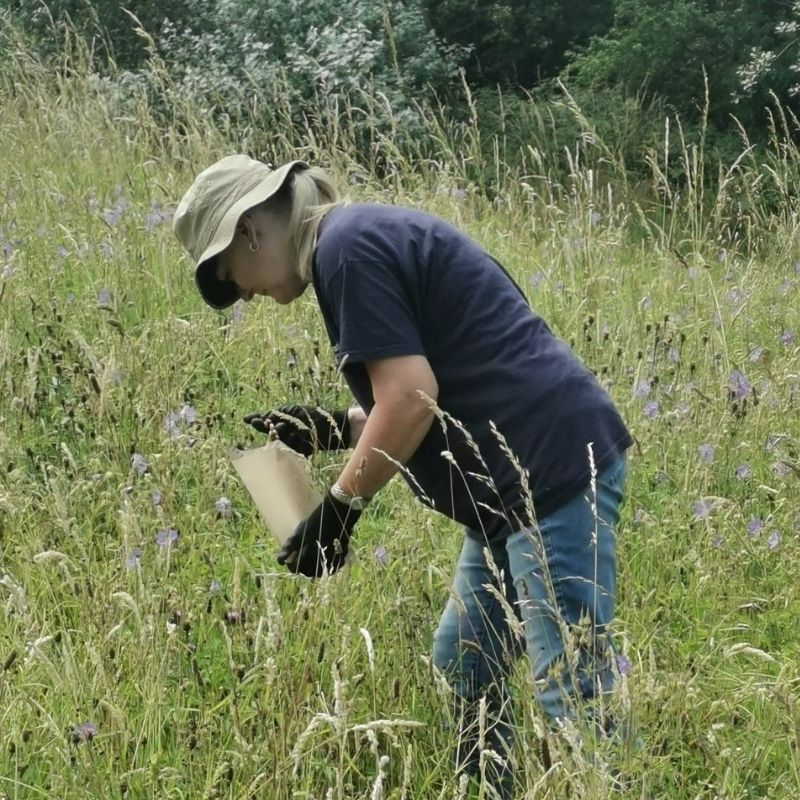 Volunteer At Preston Park Collecting Yellow Rattle Seed From The Wildflower Meadow